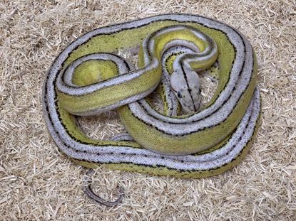 Picture of Jay's Pick Male Citron Motley Platinum Sunfire Tiger Reticulated Python